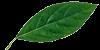 leaf-100x50